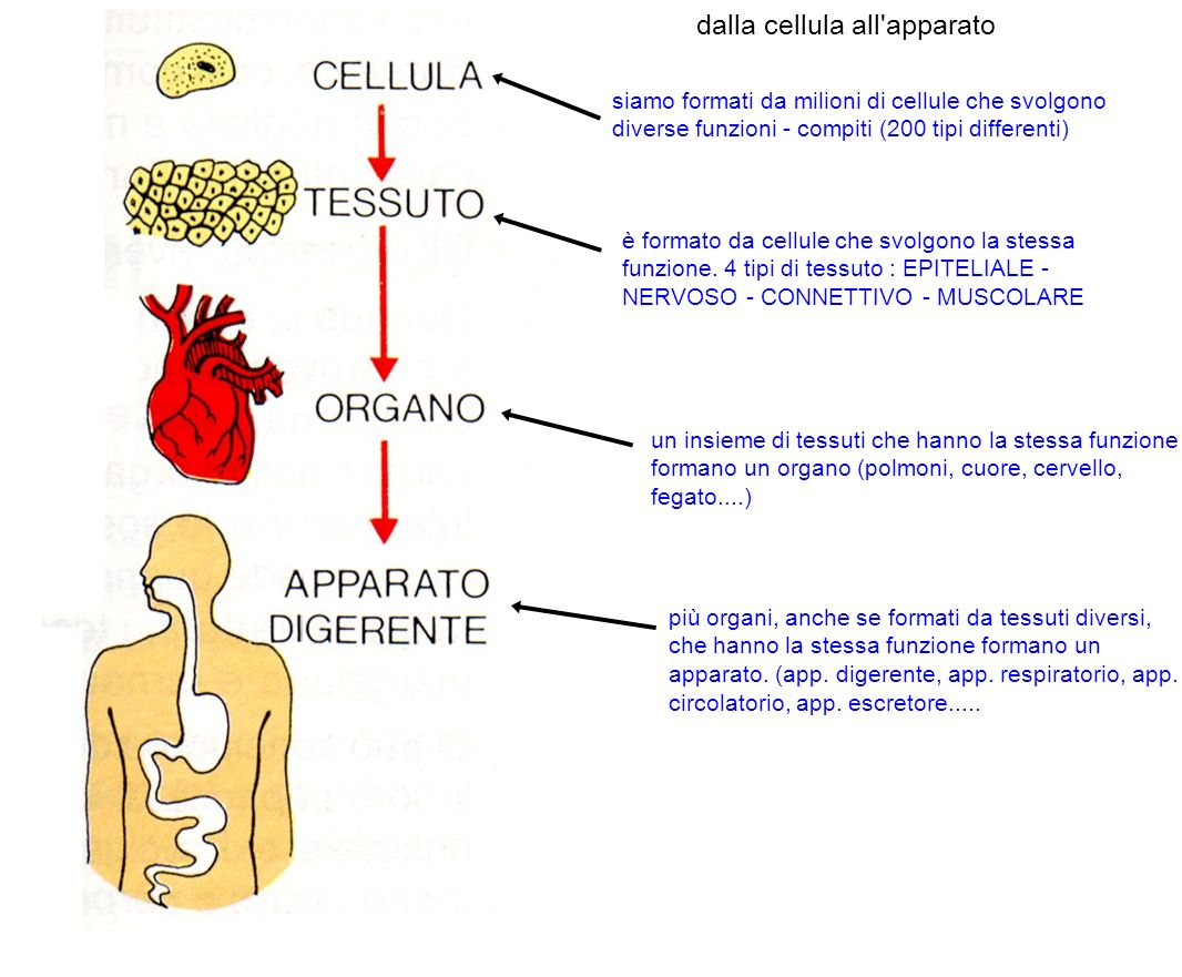 dalla cellula all apparato