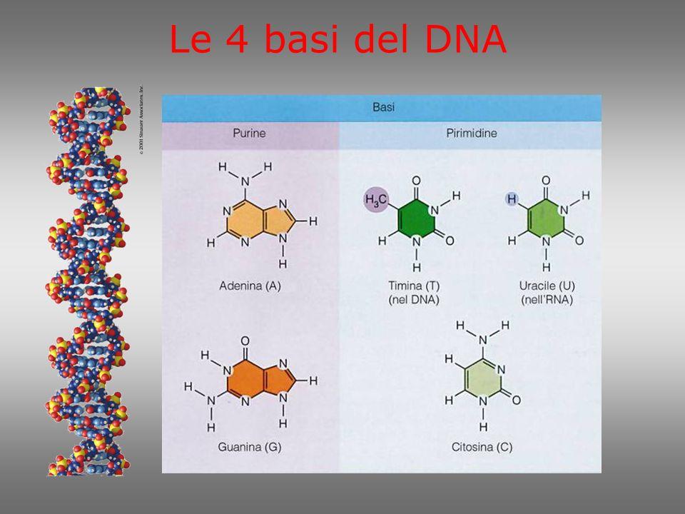 Le 4 basi del DNA