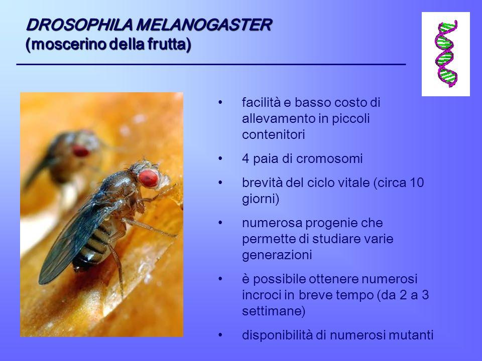 DROSOPHILA MELANOGASTER (moscerino della frutta)