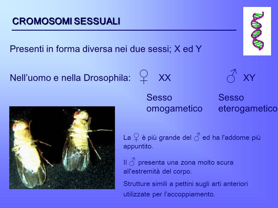 Presenti in forma diversa nei due sessi; X ed Y