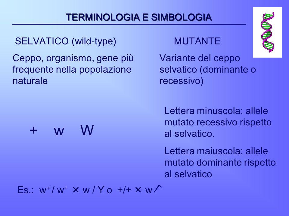+ w W TERMINOLOGIA E SIMBOLOGIA SELVATICO (wild-type) MUTANTE