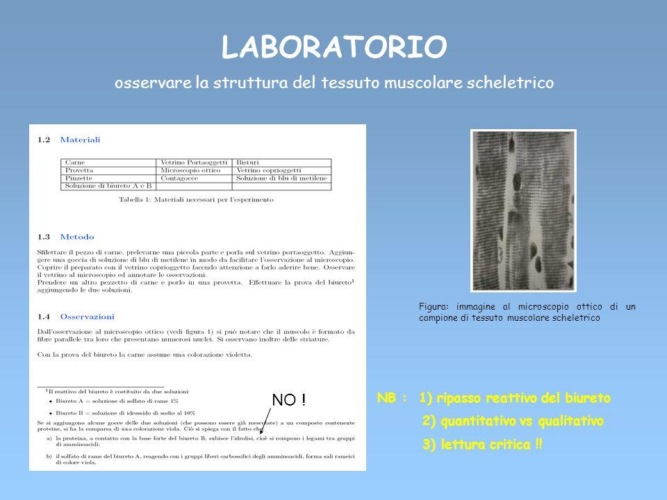 LABORATORIO osservare la struttura del tessuto muscolare scheletrico