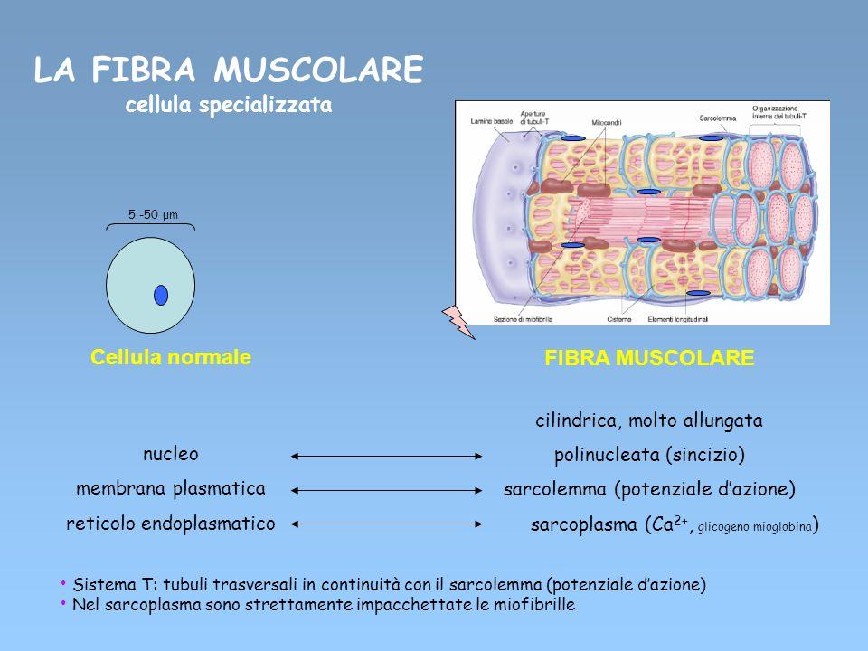 LA FIBRA MUSCOLARE cellula specializzata