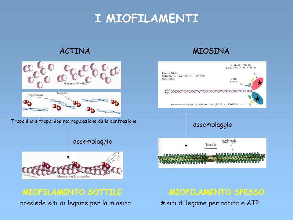 I MIOFILAMENTI ACTINA MIOSINA MIOFILAMENTO SOTTILE MIOFILAMENTO SPESSO