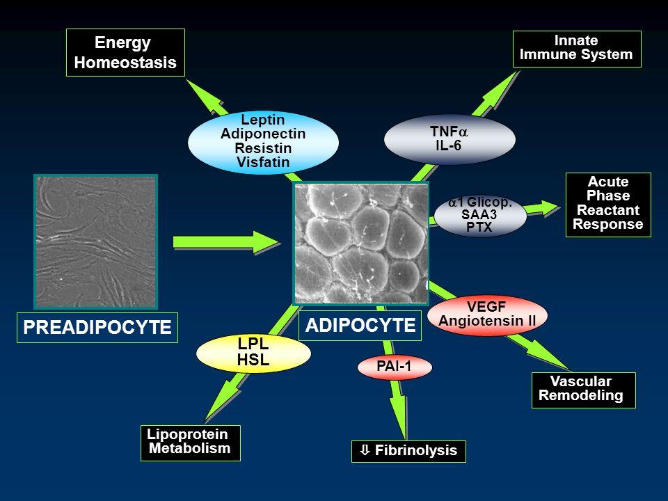 PREADIPOCYTE ADIPOCYTE Energy Homeostasis LPL HSL Innate Immune System