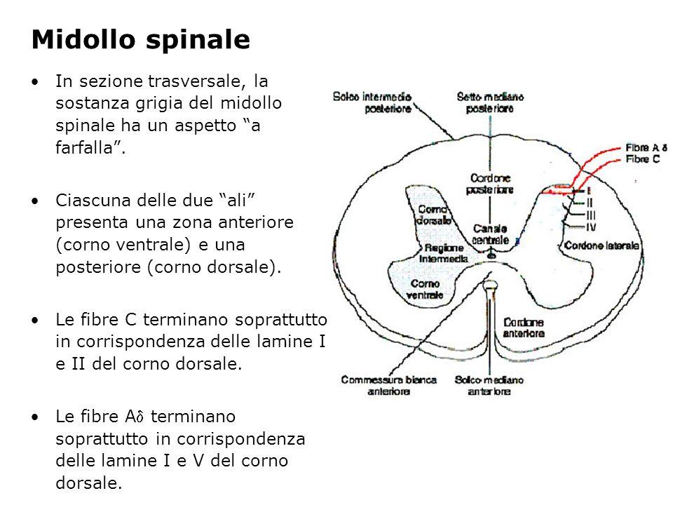 Midollo spinale In sezione trasversale, la sostanza grigia del midollo spinale ha un aspetto a farfalla .