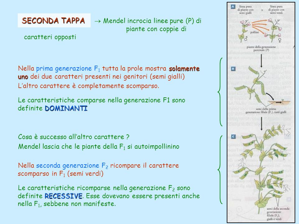 SECONDA TAPPA  Mendel incrocia linee pure (P) di