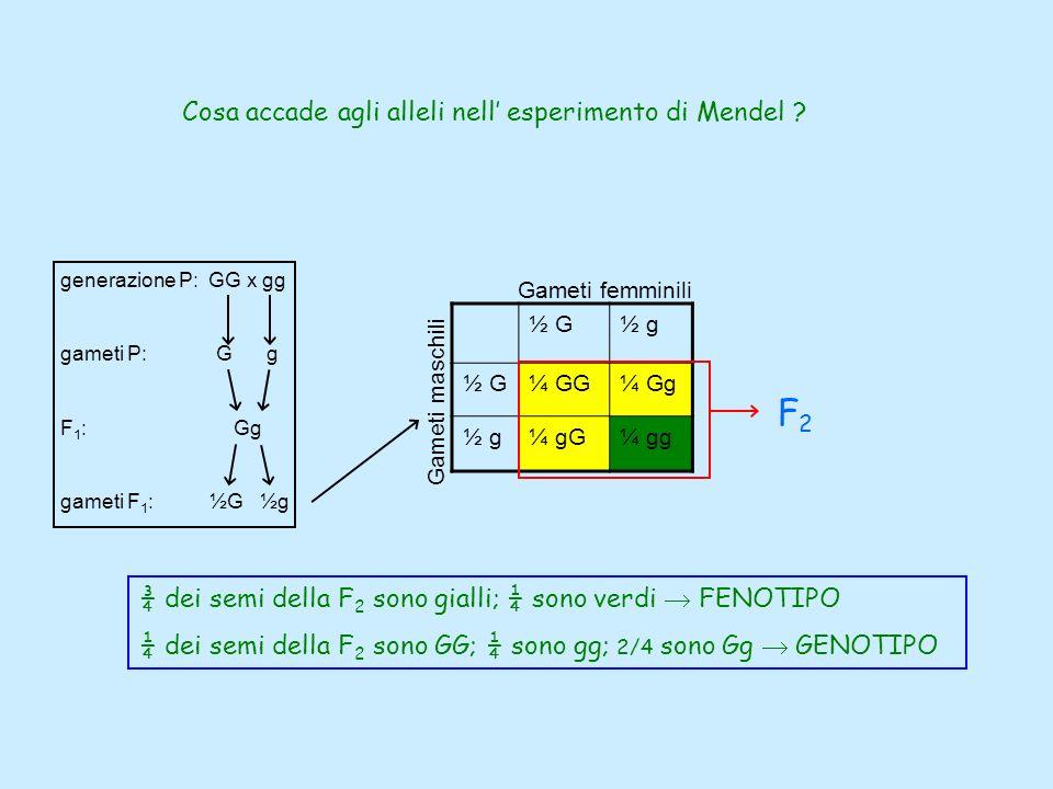 F2 Cosa accade agli alleli nell' esperimento di Mendel