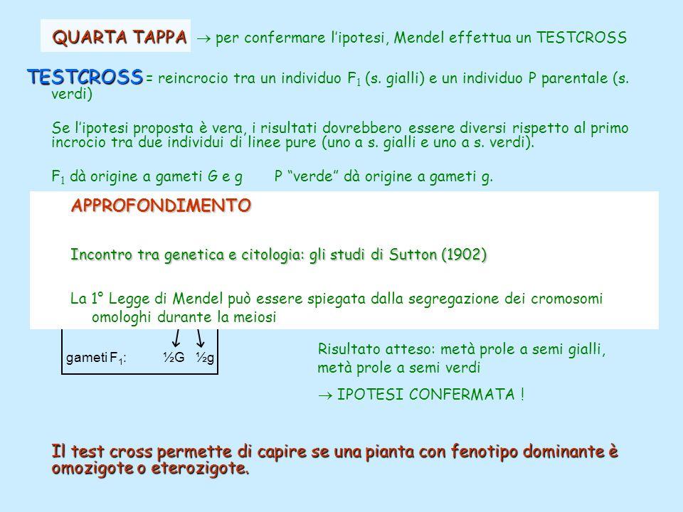 QUARTA TAPPA  per confermare l'ipotesi, Mendel effettua un TESTCROSS
