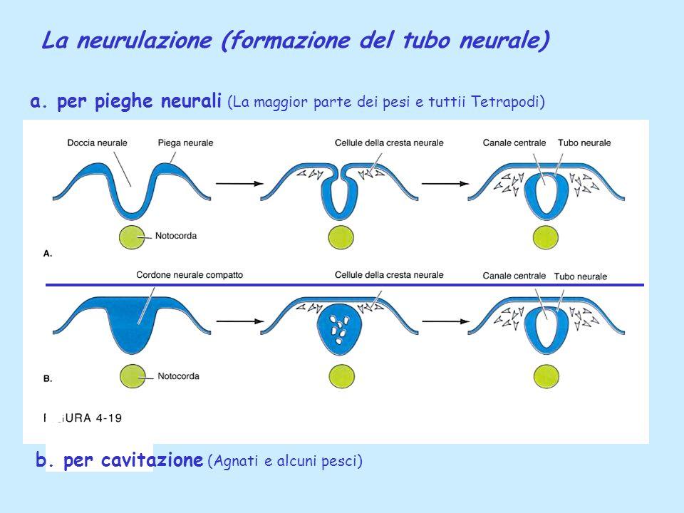 La neurulazione (formazione del tubo neurale)