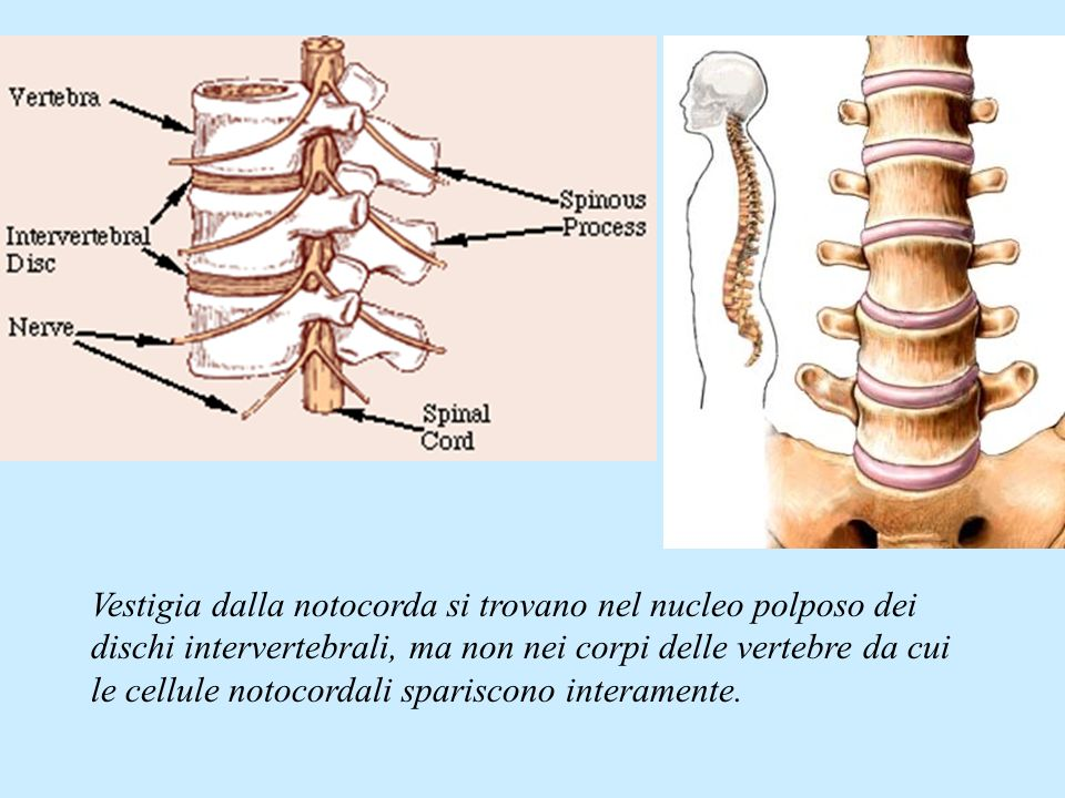 Vestigia dalla notocorda si trovano nel nucleo polposo dei dischi intervertebrali, ma non nei corpi delle vertebre da cui le cellule notocordali spariscono interamente.
