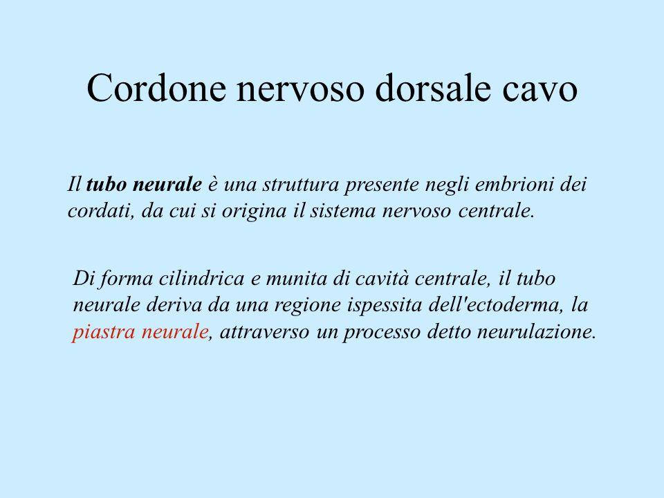 Cordone nervoso dorsale cavo