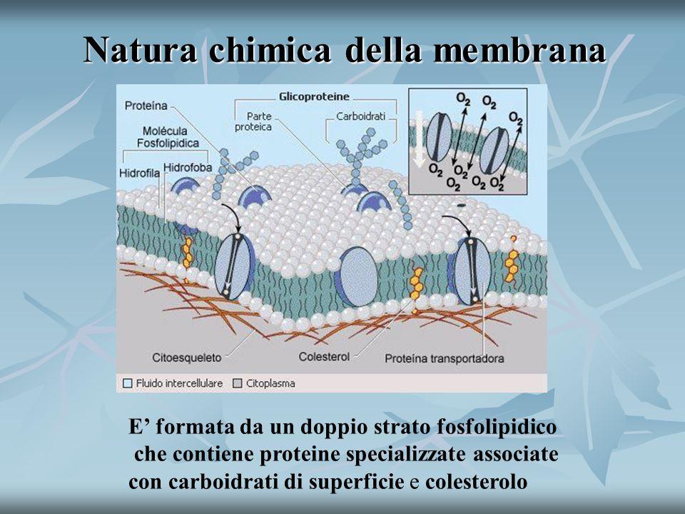 Natura chimica della membrana