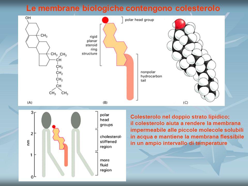 Le membrane biologiche contengono colesterolo