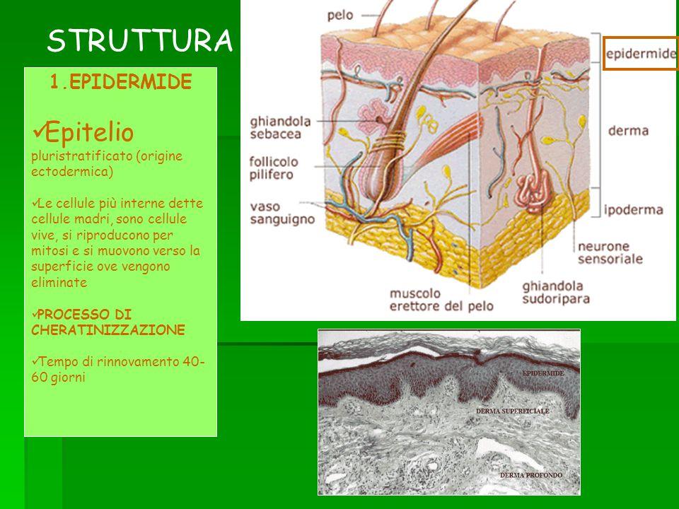 STRUTTURA Epitelio pluristratificato (origine ectodermica)