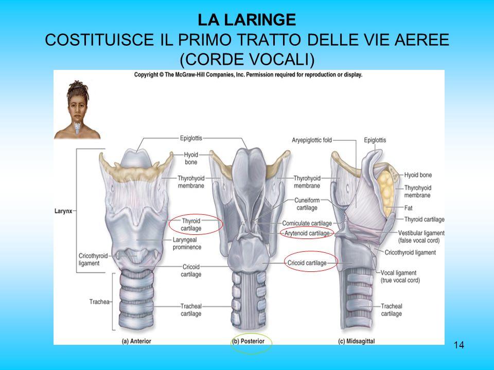 LA LARINGE COSTITUISCE IL PRIMO TRATTO DELLE VIE AEREE (CORDE VOCALI)