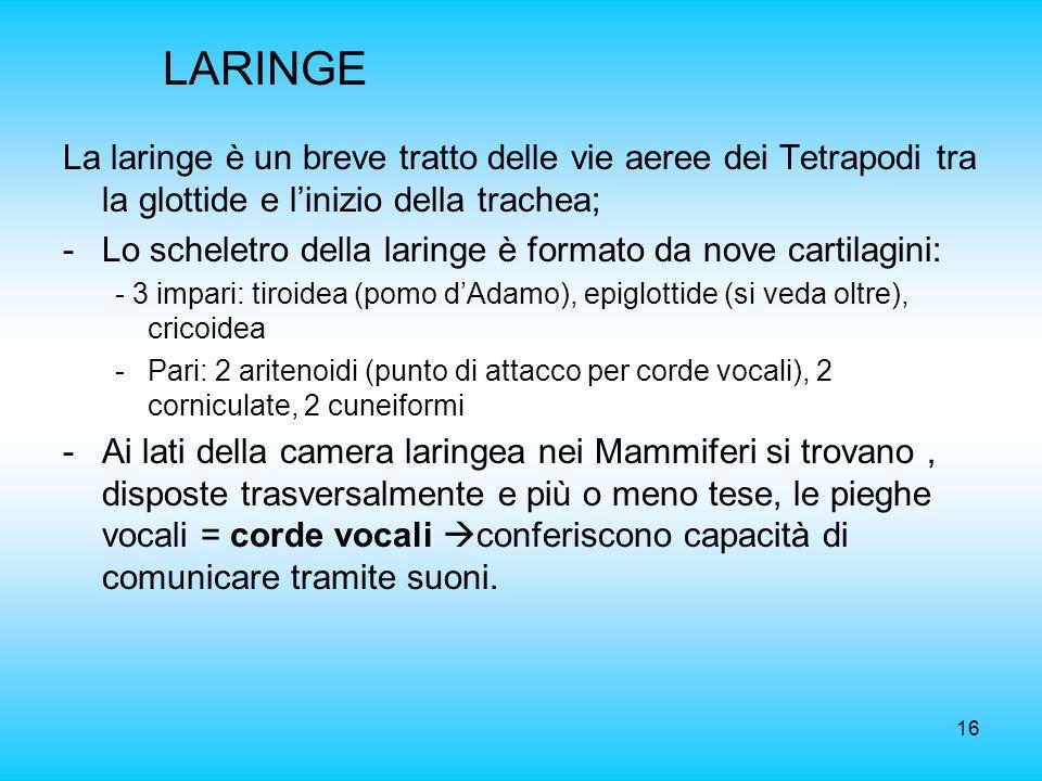 LARINGE La laringe è un breve tratto delle vie aeree dei Tetrapodi tra la glottide e l'inizio della trachea;