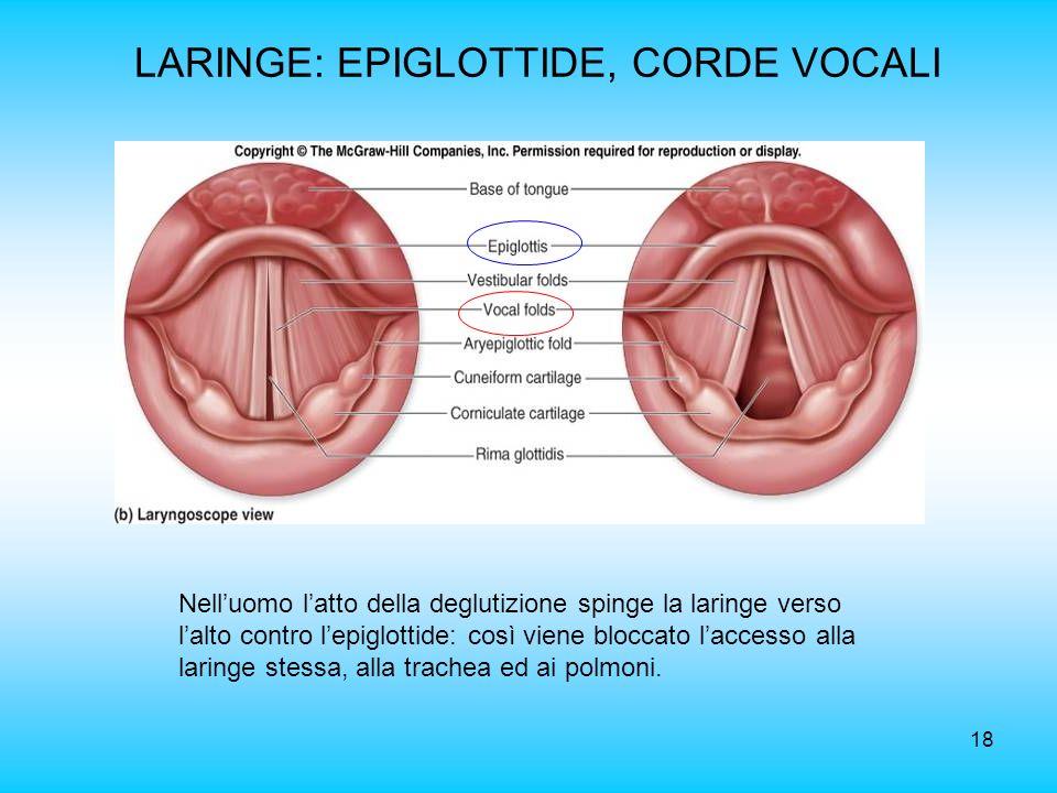 LARINGE: EPIGLOTTIDE, CORDE VOCALI