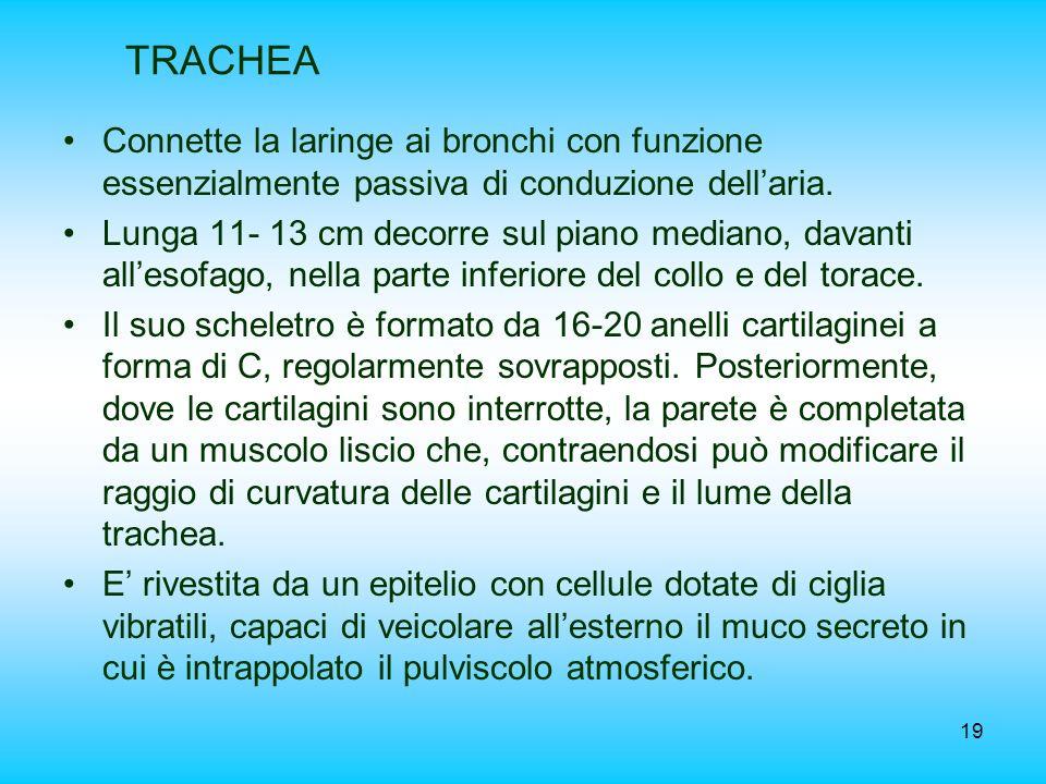 TRACHEA Connette la laringe ai bronchi con funzione essenzialmente passiva di conduzione dell'aria.