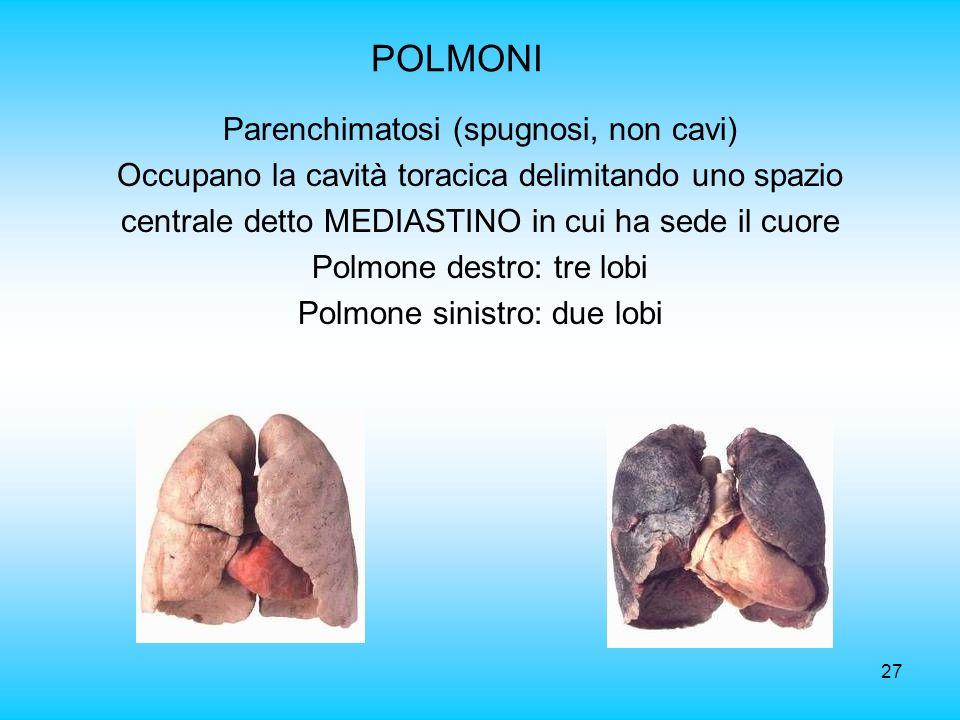 POLMONI Parenchimatosi (spugnosi, non cavi)