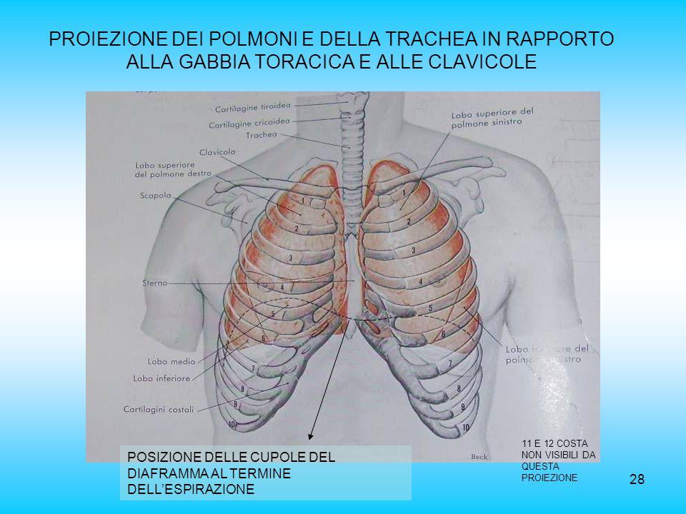 PROIEZIONE DEI POLMONI E DELLA TRACHEA IN RAPPORTO ALLA GABBIA TORACICA E ALLE CLAVICOLE