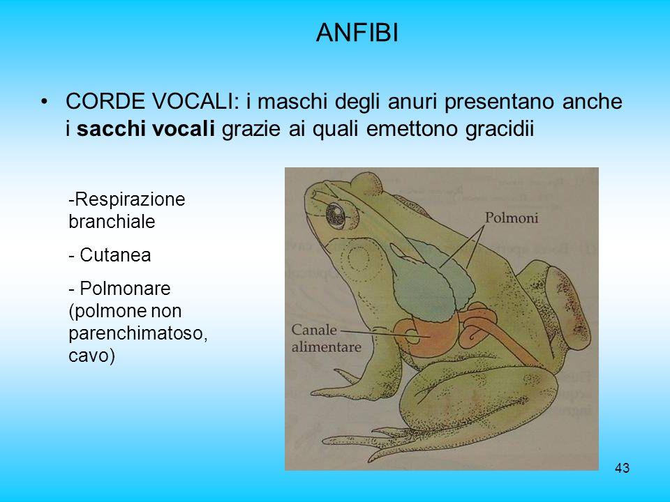 ANFIBI CORDE VOCALI: i maschi degli anuri presentano anche i sacchi vocali grazie ai quali emettono gracidii.