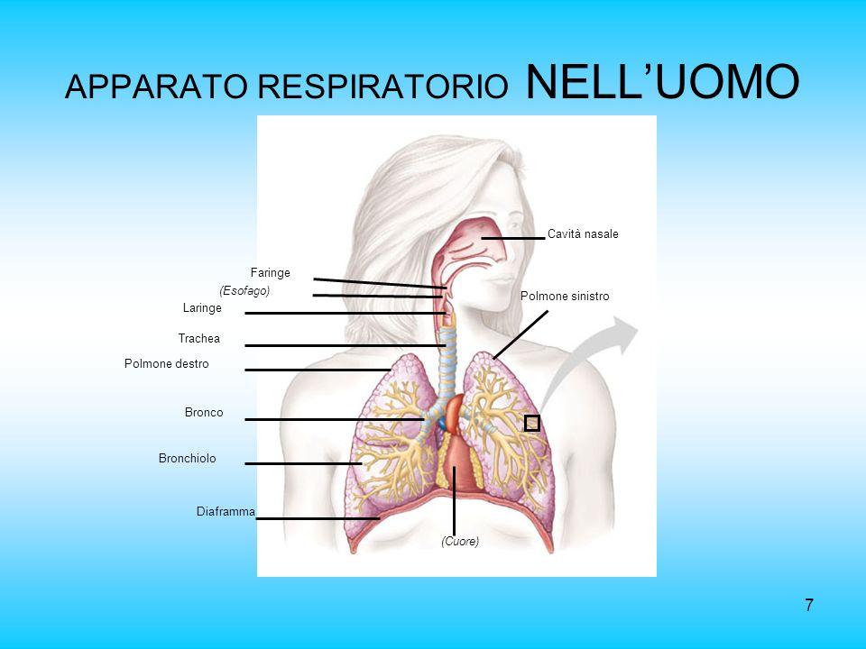 APPARATO RESPIRATORIO NELL'UOMO
