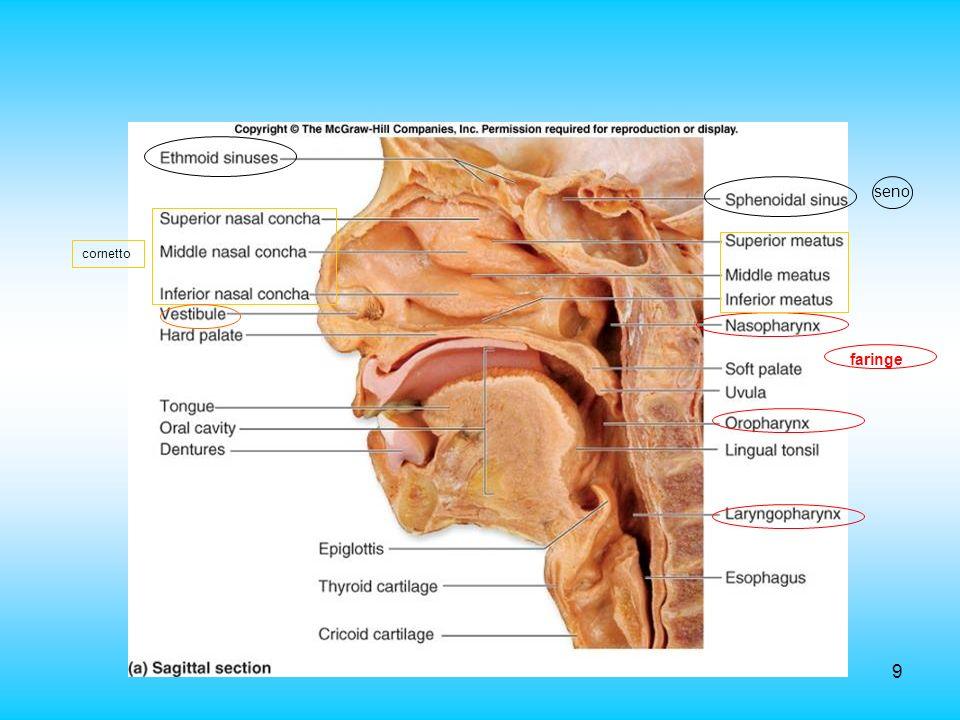 seno cornetto faringe