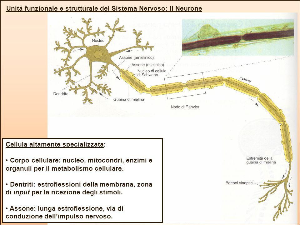 Unità funzionale e strutturale del Sistema Nervoso: Il Neurone