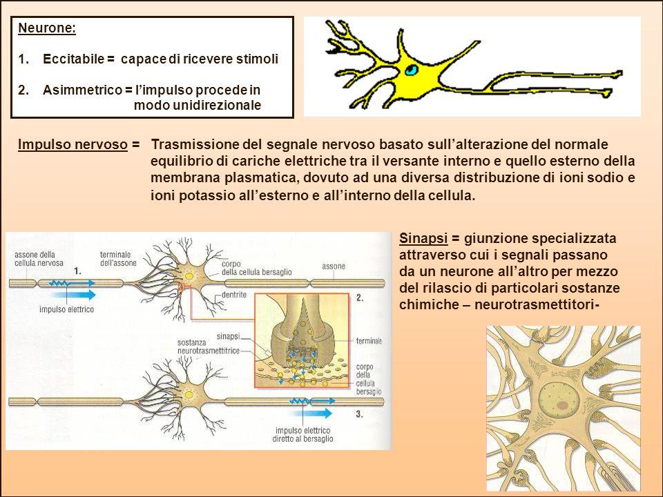 Neurone: Eccitabile = capace di ricevere stimoli. Asimmetrico = l'impulso procede in modo unidirezionale.