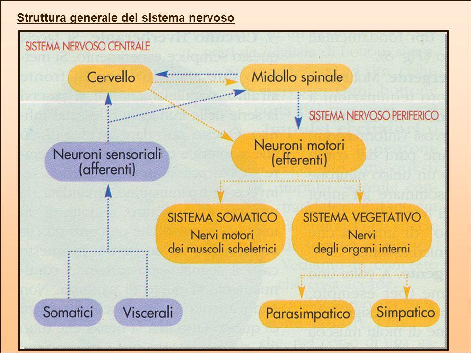 Struttura generale del sistema nervoso