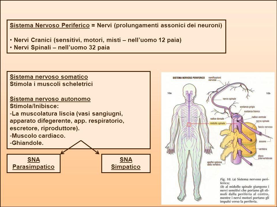 Sistema Nervoso Periferico = Nervi (prolungamenti assonici dei neuroni)