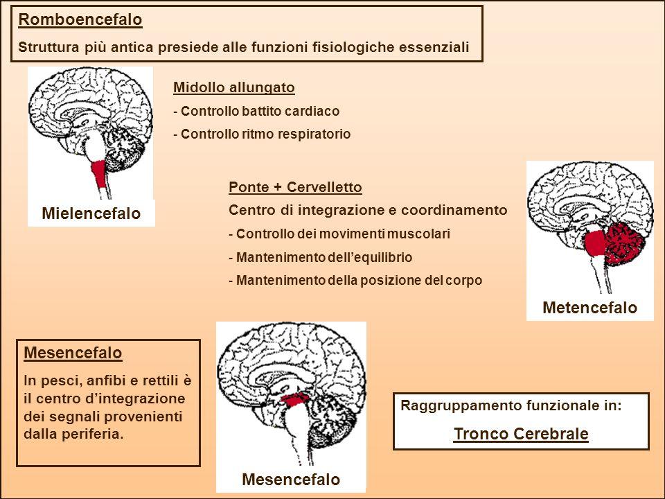 Mielencefalo Metencefalo Tronco Cerebrale
