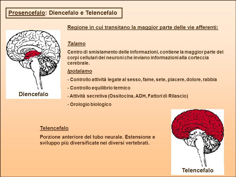 Diencefalo Telencefalo