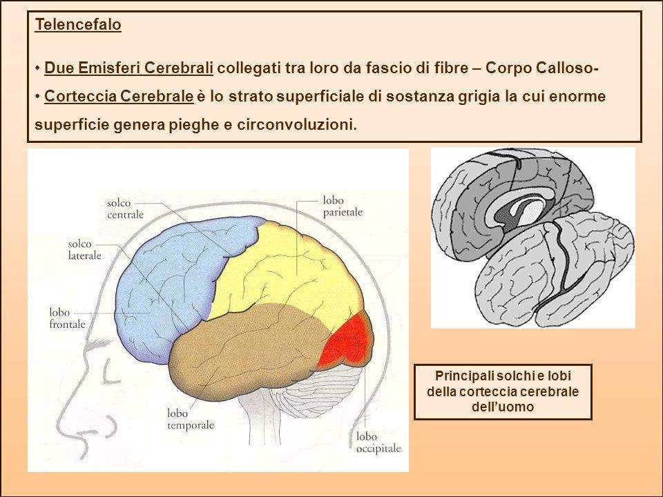 Principali solchi e lobi della corteccia cerebrale dell'uomo
