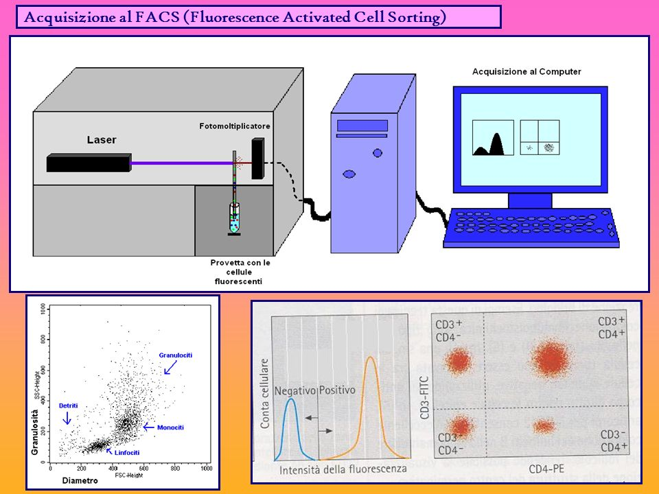 Acquisizione al FACS (Fluorescence Activated Cell Sorting)