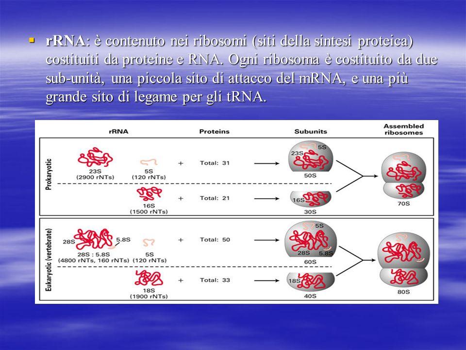 rRNA: è contenuto nei ribosomi (siti della sintesi proteica) costituiti da proteine e RNA.