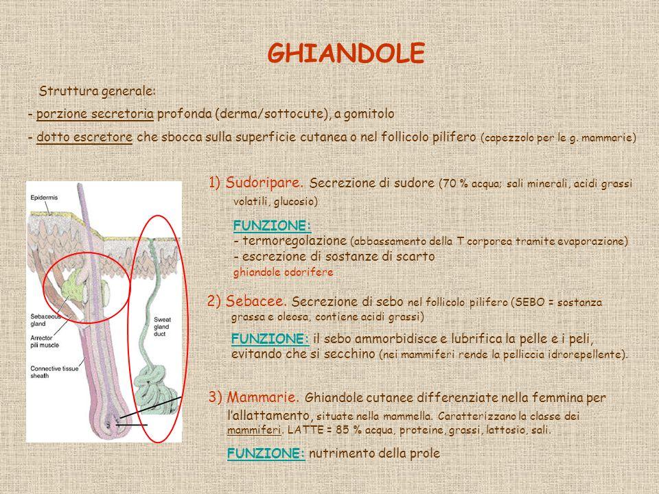 GHIANDOLE Struttura generale: porzione secretoria profonda (derma/sottocute), a gomitolo.