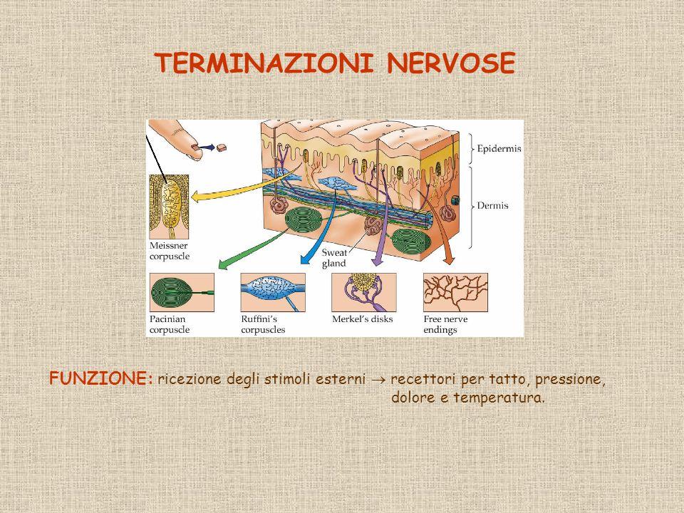 TERMINAZIONI NERVOSE FUNZIONE: ricezione degli stimoli esterni  recettori per tatto, pressione, dolore e temperatura.
