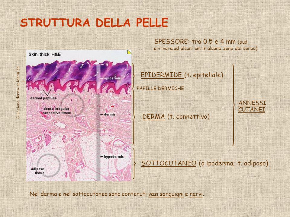 STRUTTURA DELLA PELLE SPESSORE: tra 0.5 e 4 mm (può arrivare ad alcuni cm in alcune zone del corpo)
