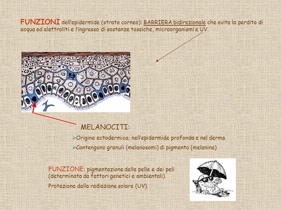 FUNZIONI dell'epidermide (strato corneo): BARRIERA bidirezionale che evita la perdita di acqua ed elettroliti e l'ingresso di sostanze tossiche, microorganismi e UV.