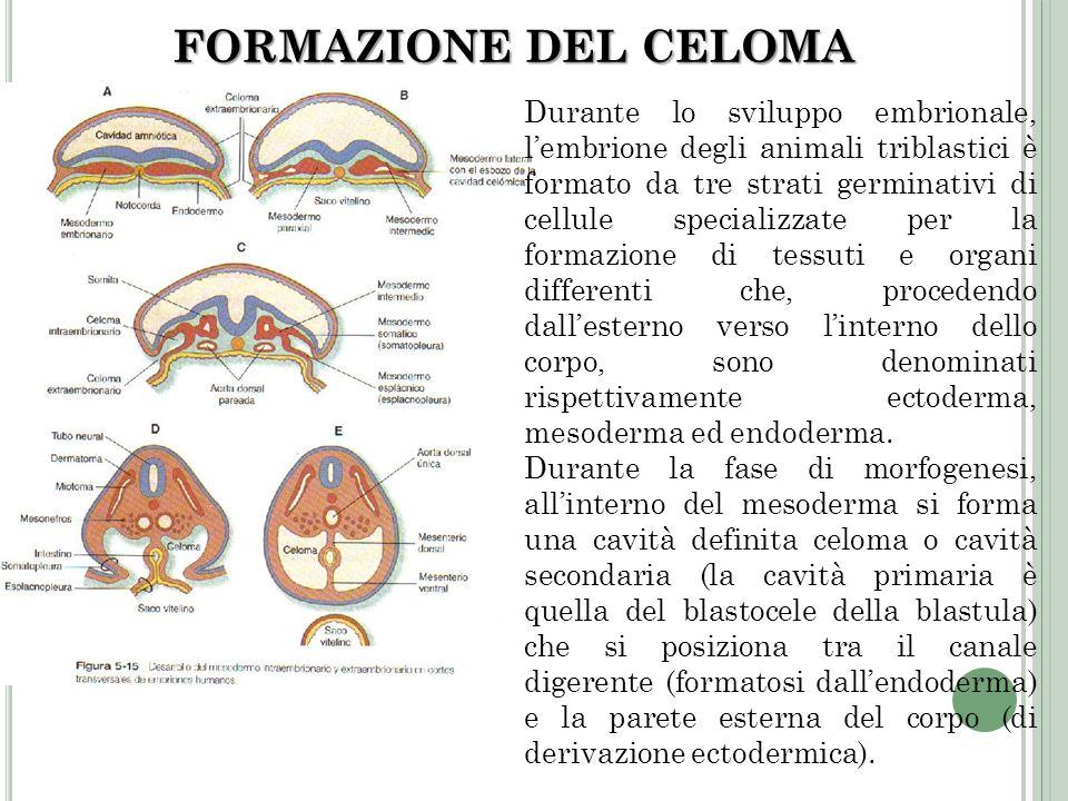FORMAZIONE DEL CELOMA