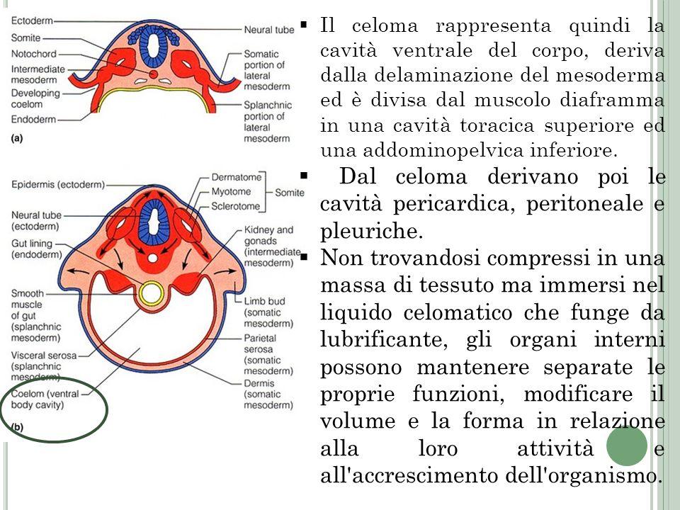 Il celoma rappresenta quindi la cavità ventrale del corpo, deriva dalla delaminazione del mesoderma ed è divisa dal muscolo diaframma in una cavità toracica superiore ed una addominopelvica inferiore.