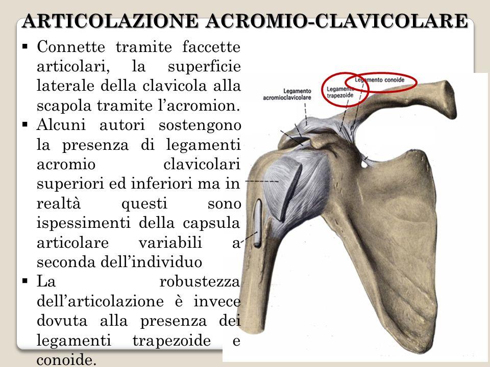 ARTICOLAZIONE ACROMIO-CLAVICOLARE