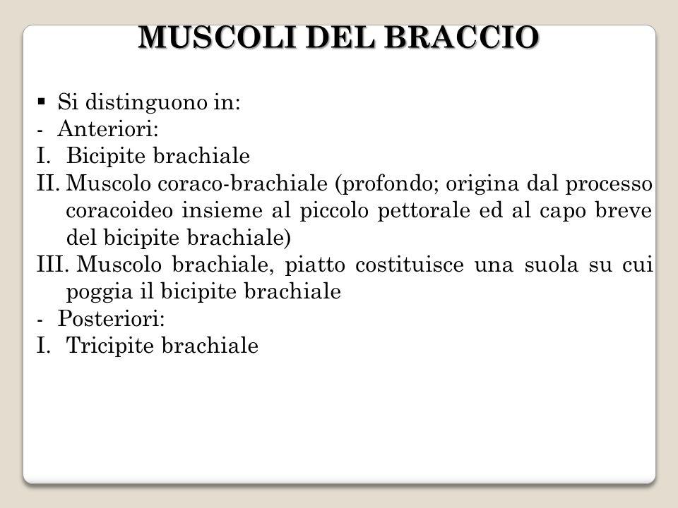 MUSCOLI DEL BRACCIO Si distinguono in: Anteriori: Bicipite brachiale