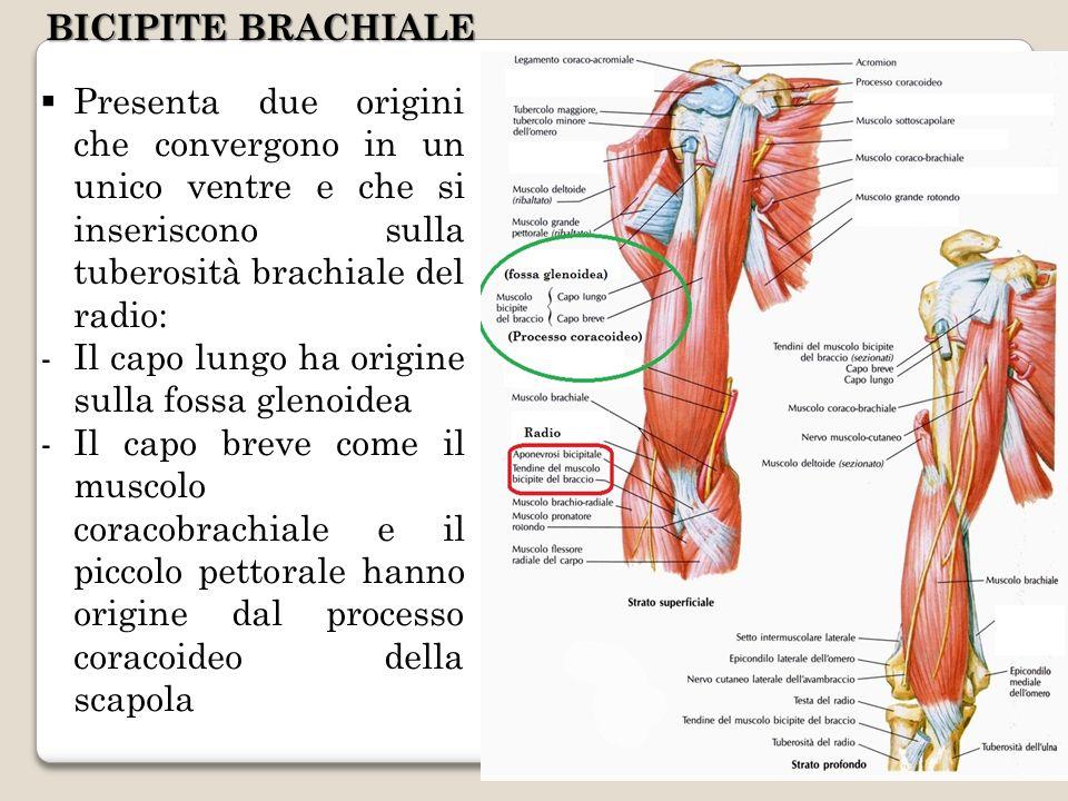 BICIPITE BRACHIALE Presenta due origini che convergono in un unico ventre e che si inseriscono sulla tuberosità brachiale del radio: