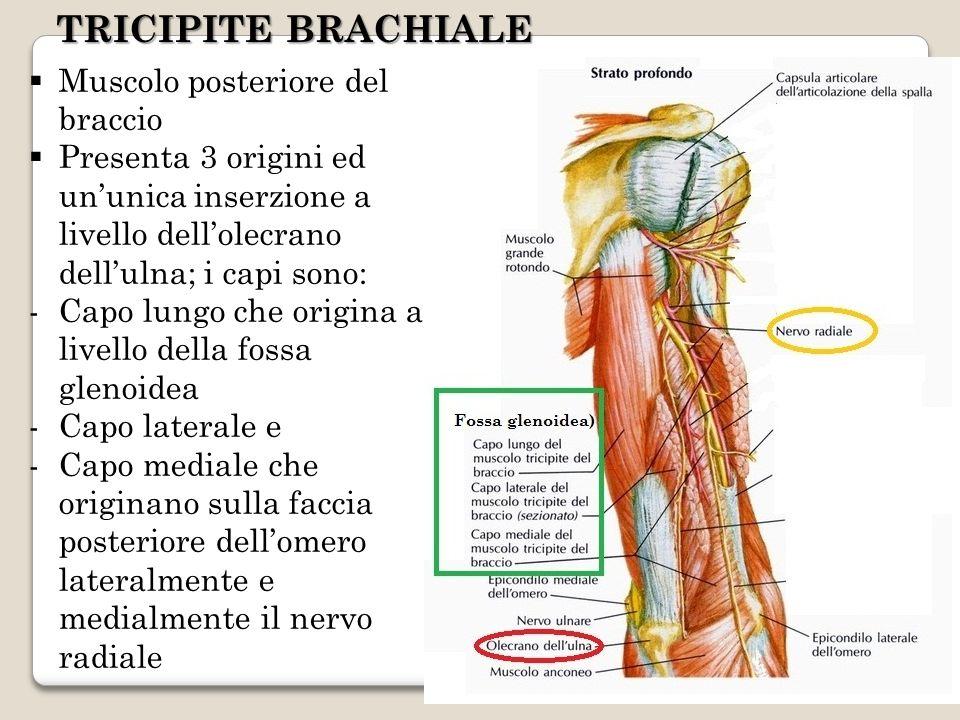 TRICIPITE BRACHIALE Muscolo posteriore del braccio