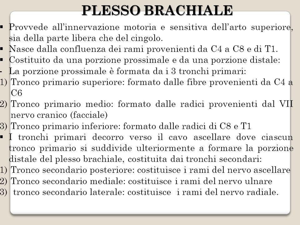 PLESSO BRACHIALE Provvede all'innervazione motoria e sensitiva dell'arto superiore, sia della parte libera che del cingolo.