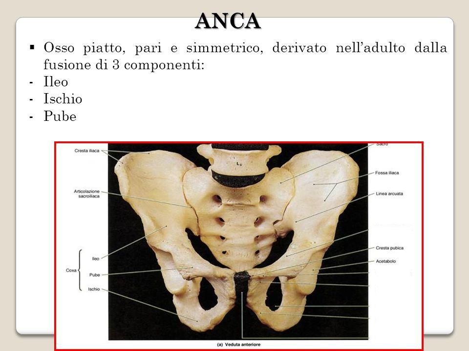 ANCA Osso piatto, pari e simmetrico, derivato nell'adulto dalla fusione di 3 componenti: Ileo. Ischio.