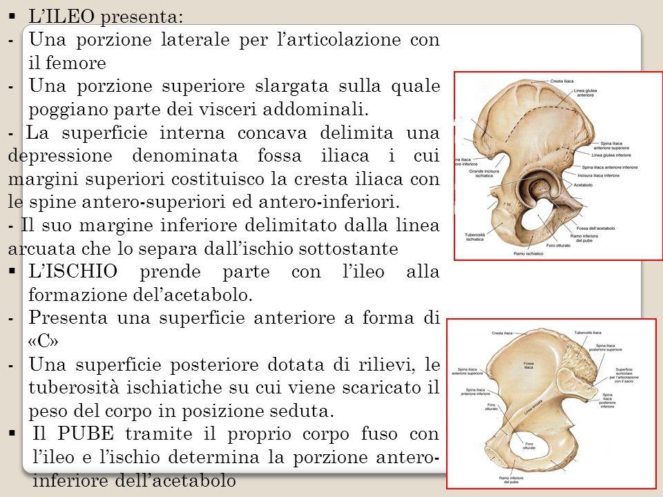 L'ILEO presenta: Una porzione laterale per l'articolazione con il femore.
